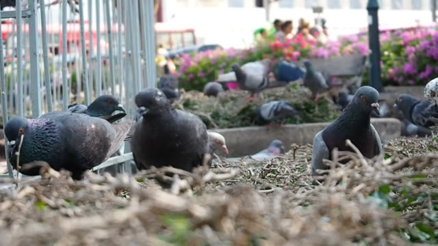 Pigeon's life video