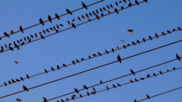 Pombos em fio elétrico - vídeo