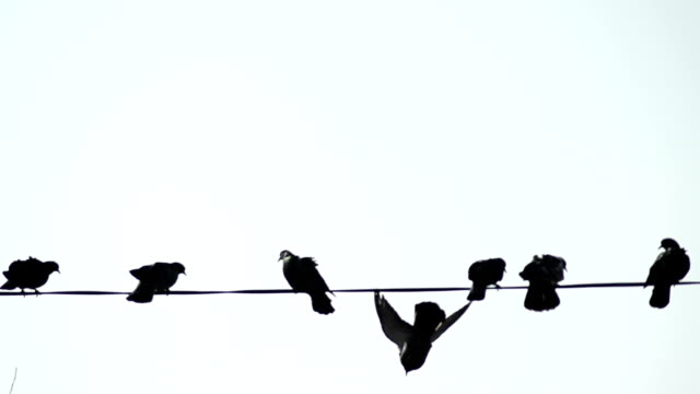 Pigeons on telephone wires - Stock Video video