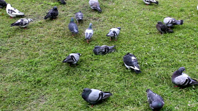 Pigeons On The Grass Flock of pigeons relaxing on the grass in park scavenging stock videos & royalty-free footage