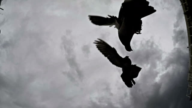 Pigeons. Slow motion. Black and white video