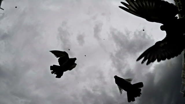 pigeons. slow motion. black and white - colombaccio video stock e b–roll