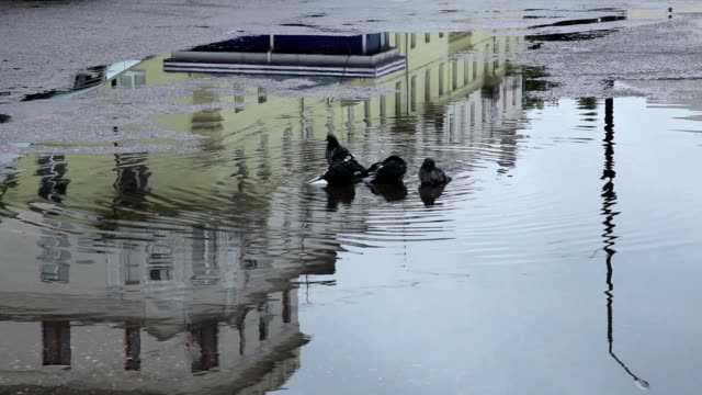 Pigeons swimming in the puddle video