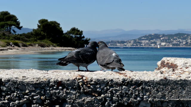 gołębie - zachowanie zwierzęcia filmów i materiałów b-roll