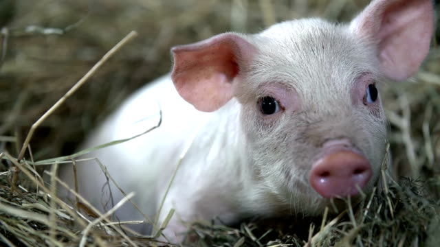 stockvideo's en b-roll-footage met piggy looking around in slow motion - pig farm