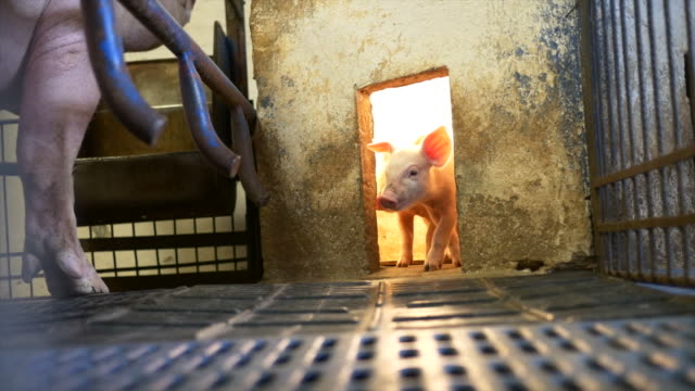 Piglet in pigpen video