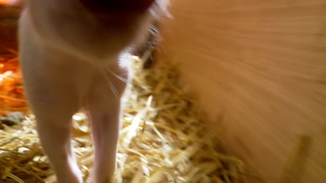 HD: Piglet In The Barn video