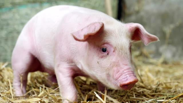 ein ferkel neugeborenen stehen auf einen strohhalm in der farm. konzept der biologischen, tierische gesundheit, freundschaft, liebe zur natur. vegane und vegetarische stil. achtung vor tieren. - schwein stock-videos und b-roll-filmmaterial