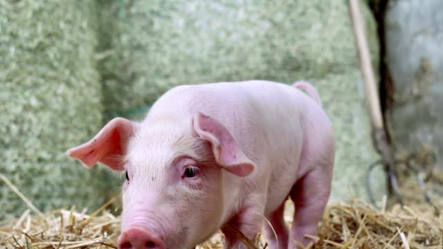 ein ferkel neugeborenen stehen auf einen strohhalm in der farm. konzept der biologischen, tierische gesundheit, freundschaft, liebe zur natur. vegane und vegetarische stil. achtung vor tieren. - schnauze stock-videos und b-roll-filmmaterial