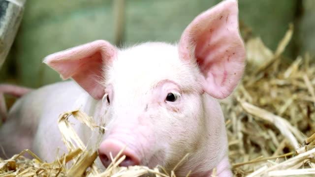 農場のわらの上に立つ子豚の新生児。 - 子豚点の映像素材/bロール