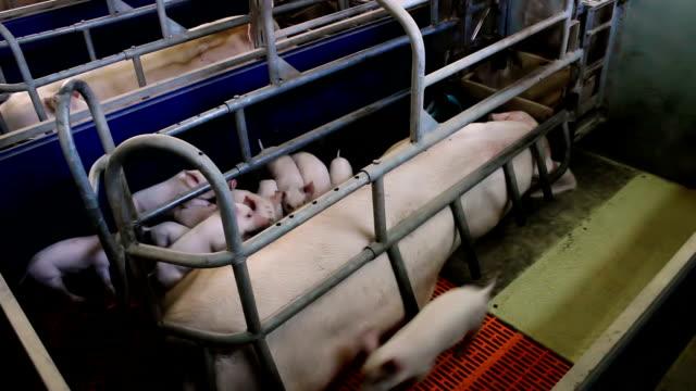 Piglets at a pig farm video
