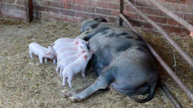 Piglets feeding from sow video