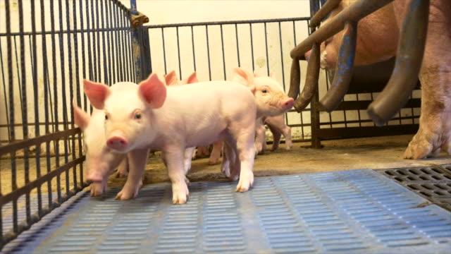 Piglets in a pigpen video