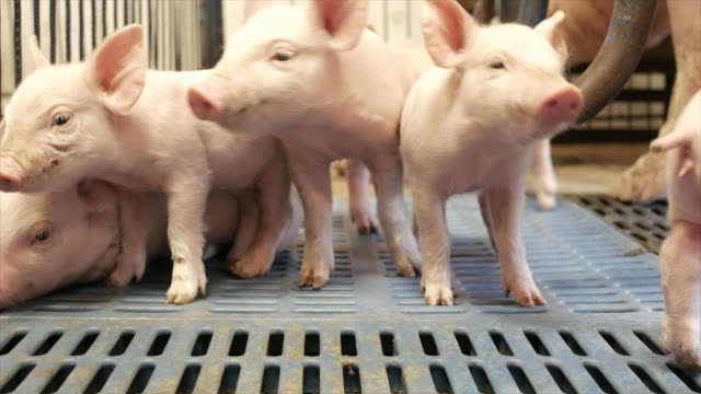 stockvideo's en b-roll-footage met biggen in een varkenshok - pig farm