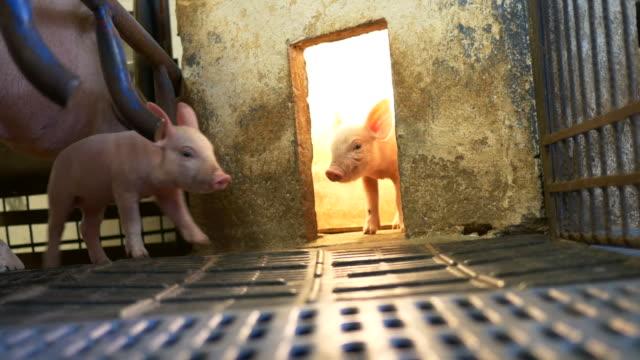 piglets in pigpen video