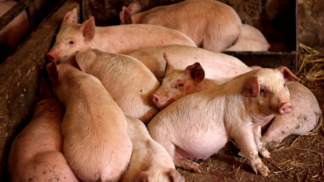 Piglets in pork farm video