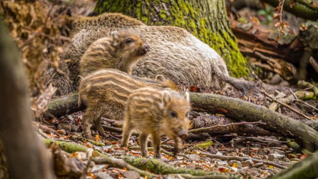vidéos et rushes de porcelets de sanglier - animaux à l'état sauvage