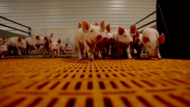 現代産業養豚の豚 - ブタ点の映像素材/bロール