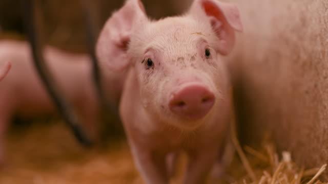 schweine in der viehzucht - schwein stock-videos und b-roll-filmmaterial