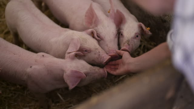 家畜農場農業の豚 - 子豚点の映像素材/bロール