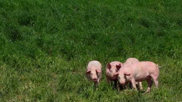 schweine, die zucht im freien, bio, essen - schwein stock-videos und b-roll-filmmaterial