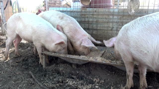 Pigs Eating video