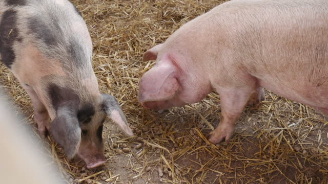 pigs eating - farm animals stock videos and b-roll footage