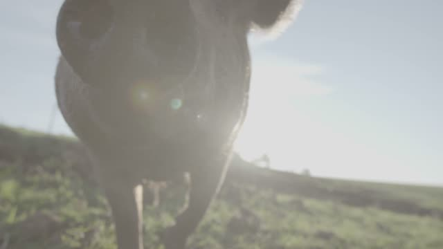 schweine auf einer farm in freilandhaltung - schwein stock-videos und b-roll-filmmaterial