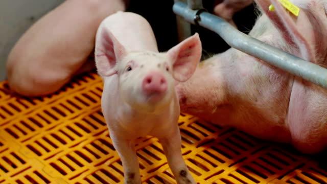現代産業養豚の豚 - 子豚点の映像素材/bロール