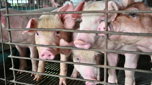 pigs on an modern industrial pig farm - część ciała zwierzęcia filmów i materiałów b-roll