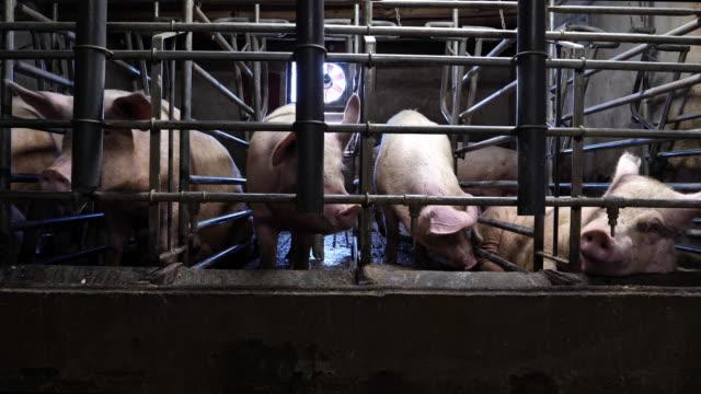 çiftlikte domuzlar - kafes sınırlı alan stok videoları ve detay görüntü çekimi