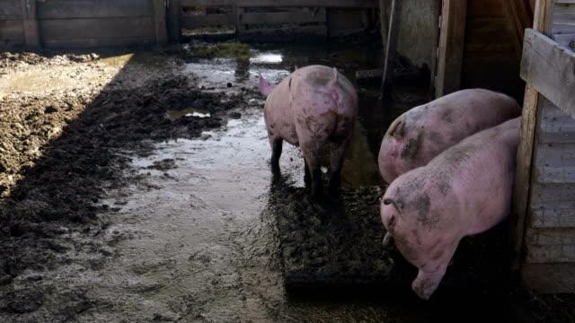 Pigs Pigsty Mud video