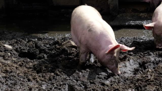 Pigs Pigsty Mud - video