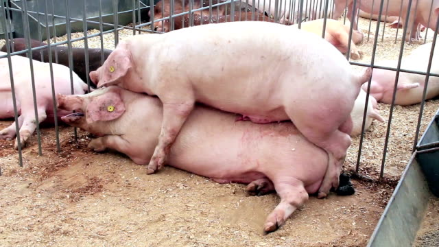 Schweine-sex – Video