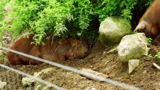 pigs sleeping under bush video