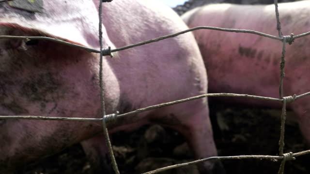 Pigs Snout Fence Close Up video