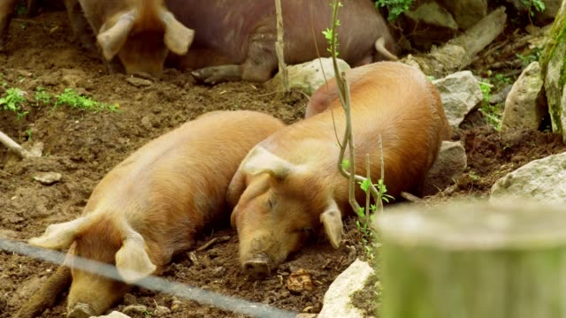 pigs taking a nap video