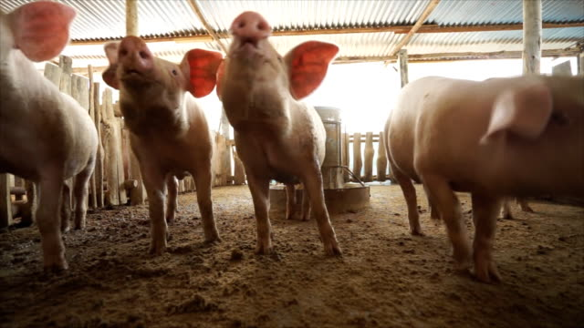 pigs treated camcorder and climb snout in the lens video