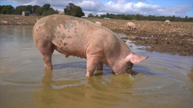 Pigs Domestic farm animals mud stock videos & royalty-free footage