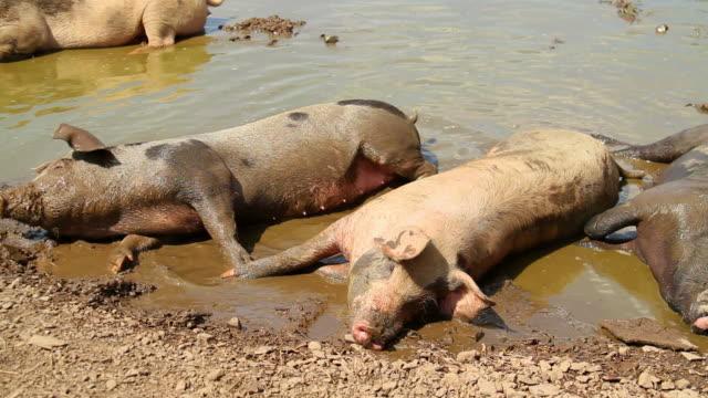 Pigs Series of footage of farm animals. mud stock videos & royalty-free footage