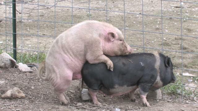 Pigs xxx - HD 1080/30f