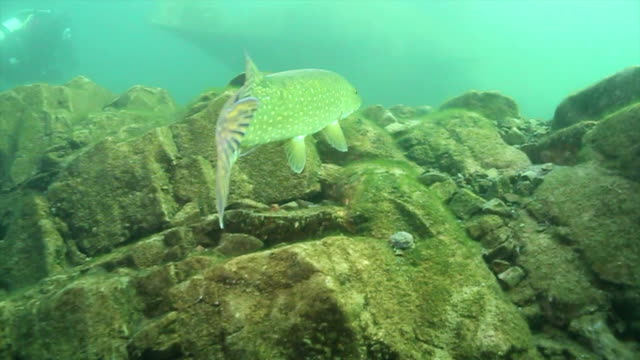 stockvideo's en b-roll-footage met pike fish swimming slowly in a cold lake - wildplassen