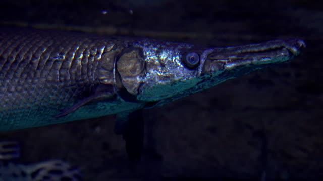 pike schweben unter wasser fullhd nahaufnahme video - ichthyologie stock-videos und b-roll-filmmaterial