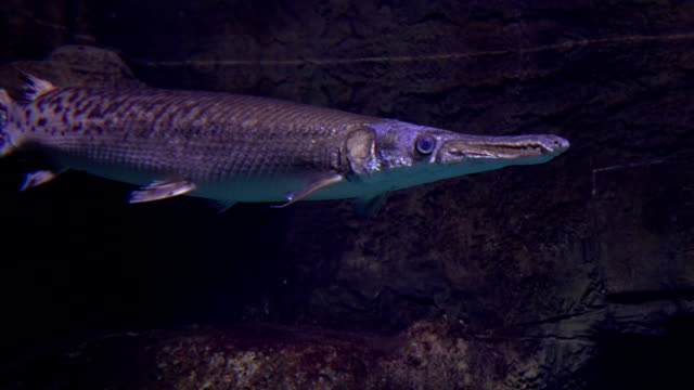pike schweben unter wasser fullhd video - ichthyologie stock-videos und b-roll-filmmaterial