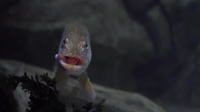 pike unter wasser schweben - ichthyologie stock-videos und b-roll-filmmaterial