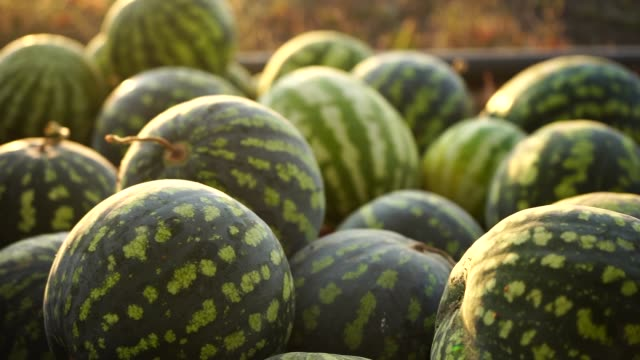 A pile of watermelons A pile of watermelons in the field at sunset. Slow motion watermelon stock videos & royalty-free footage