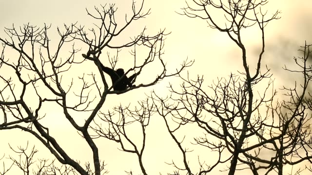 pileated gibbon in the nature, animal in the wild, slow motion - gibbone video stock e b–roll