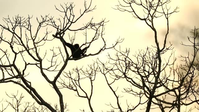 pileated gibbon i naturen, djur i naturen, slow motion - gibbon människoapa bildbanksvideor och videomaterial från bakom kulisserna