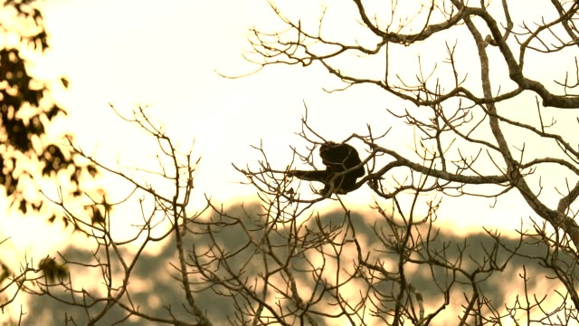 pileated gibbon in the nature, animal in the wild - gibbone video stock e b–roll
