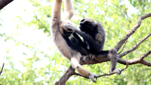 pileated gibbon - gibbon människoapa bildbanksvideor och videomaterial från bakom kulisserna